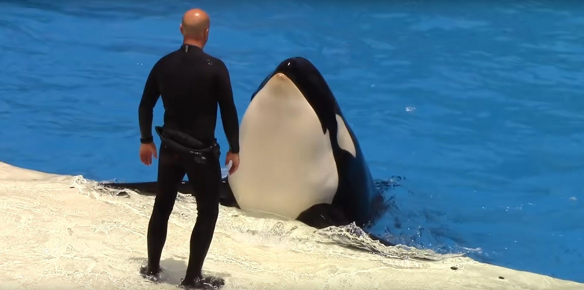 loro park teneryfa pokaz orka